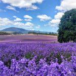 薰衣草園 Bridestowe Lavender Estate 塔斯馬尼亞